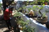 Pegiat bonsai merawat tanaman di Jember Bonsai Community (JBC), Sumbersari, Jember, Jawa Timur, Rabu (8/9/2021). JBC mengembangkan kampung wisata bonsai karena di kawasan itu ada ratusan jenis bonsai yang dijual mulai harga Rp50.000 hingga jutaan rupiah, dan dikembangkan oleh puluhan kepala keluarga untuk mendongkrak kesejahteraan warga. Antara Jatim/Seno/zk