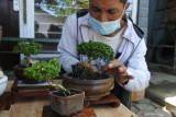 Pegiat bonsai merawat tanaman Sancang (Premna Microphyla) di Jember Bonsai Community (JBC), Sumbersari, Jember, Jawa Timur, Rabu (8/9/2021). JBC mengembangkan kampung wisata bonsai karena di kawasan itu ada ratusan jenis bonsai yang dijual mulai harga Rp50.000 hingga jutaan rupiah, dan dikembangkan oleh puluhan kepala keluarga untuk mendongkrak kesejahteraan warga. Antara Jatim/Seno/zk