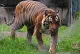Masyarakat Sungai Puah Solok Selatan resah dengan kehadiran tiga ekor harimau tak jauh dari permukiman