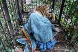 Harimau terkam remaja di Teluk Lanus masuk kandang perangkap, kondisinya menyedihkan