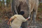 Gajah betina di Bengkalis sakit, ini yang dilakukan BBKSDA