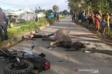 Pengendara motor tabrak kerbau meninggal di TKP
