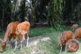 Bangun tidur, Amaq Beceng lemas dua ekor sapi miliknya lenyap
