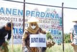 Panen petani bawang di Mamuju capai tiga ton per hektare
