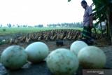 Ketua Pinsar: Presiden minta harga pakan jagung ke peternak Rp4.500/kg