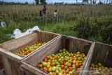 Harga Tomat Naik Akibat Cuaca