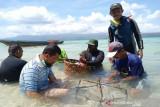Nelayan Boneatiro Buton melakukan transplantasi terumbu karang