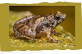 Peneliti identifikasi spesies katak kecil dari Belitung  dan Lampung