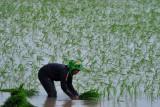 Sumsel alami peningkatan  produksi padi di tengah pandemi