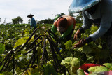 Buruh tani memanen kacang hijau di Desa Ngale, Pilangkenceng, Kabupaten Madiun, Jawa Timur, Rabu (15/9/2021). Kacang hijau hasil panen selanjutnya dijual kepada tengkulak yang menurut petani di wilayah tersebut saat ini harganya Rp16 ribu per kilogram. Antara Jatim/Siswowidodo/zk