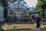 Petani mitra binaan Pertamina Geothermal Energy (PGE) Area Karaha menjemur kopi arabika di Desa Dirgahayu, Kabupaten Tasikmalaya, Jawa Barat, Rabu (15/9/2021). PGE Area Karaha membantu pemulihan ekonomi kelompok tani dengan program pemberdayaan, peningkatan produksi dan mengelola kopi secara efektif dari mulai hulu hingga hilir ditengah pandemi COVID-19. ANTARA FOTO/Adeng Bustomi/agr
