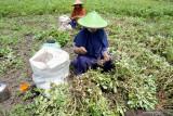 Petani memanen kacang tanah di sawah miliknya di Blitar, Jawa Timur, Rabu (15/9/2021). Tanaman kacang tanah seringkali dipilih petani sebagai selingan cocok tanam padi dalam setahun masa tanam dengan tujuan mengembalikan unsur hara tanah namun tetap mendapat keuntungan ekonomi. Antara Jatim/Destyan Sujarwoko/zk