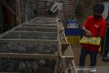 Peternak mengambil telur puyuh yang menggunakan pakan lalat maggot di Kampung Kadipaten, Kabupaten Tasikmalaya, Jawa Barat, Rabu (15/9/2021). Program Budidaya Maggot dan Azola (BuMala) yang diluncurkan Pertamina Geothermal Energy (PGE) Area Karaha bertujuan untuk mengatasi permasalahan sampah organik rumah tangga dan membantu memenuhi kebutuhan pakan alternatif ternak milik masyarakat. ANTARA FOTO/Adeng Bustomi/agr