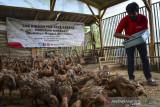 Peternak memberikan pakan azola kepada bebek di Kampung Kadipaten, Kabupaten Tasikmalaya, Jawa Barat, Rabu (15/9/2021). Program Budidaya Maggot dan Azola (BuMala) yang diluncurkan Pertamina Geothermal Energy (PGE) Area Karaha bertujuan untuk mengatasi permasalahan sampah organik rumah tangga dan membantu memenuhi kebutuhan pakan alternatif ternak milik masyarakat. ANTARA FOTO/Adeng Bustomi/agr