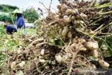 Panen Kacang Tanah di Blitar