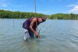 BRGM laksanakan penanaman mangrove perdana di Sarmi Papua