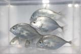 KKP terus kembangkan teknologi budidaya ikan bubara