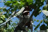 Petani memanen sayur gambas di Desa Sidomulyo, Wonoasri, Kabupaten Madiun, Jawa Timur, Sabtu (18/9/2021). Menurut petani tersebut harga sayur gambas turun dari musim panen sebelumnya Rp5 ribu menjadi Rp3 ribu per kilogram di tingkat petani akibat melimpahnya hasil produksi. Antara Jatim/Siswowidodo