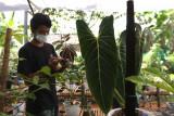 Petani merawat bunga di Banyuwangi, Jawa Timur, Senin (20/9/2021). Tanaman bunga jenis Monstera dan Philodendron yang dikembangkan oleh komunitas bunga di Banyuwangi itu mampu menembus pasar ekspor ke Singapura. Antara Jatim/Budi Candra Setya/zk