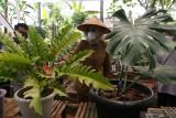 Bupati Banyuwangi Ipuk Fiestiandani Azwar Anas melihat tanaman bunga di Banyuwangi, Jawa Timur, Senin (20/9/2021). Tanaman bunga jenis Monstera dan Philodendron yang dikembangkan oleh komunitas bunga di Banyuwangi itu mampu menembus pasar ekspor ke Singapura. Antara Jatim/Budi Candra Setya/zk