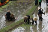 Warga mempertunjukan menanam padi secara tradisional dan menggunakan mesin pada Festival Padi di Licin, Banyuwangi, Jawa Timur, Senin (20/9/2021). Pada Festival padi itu mempertujukan tradisi agraris warga Banyuwangi mulai dari penanaman secara tradisional hingga moderen. Antara Jatim/Budi Candra Setya/zk