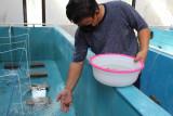Pembudidaya: Jaga stabilitas pasokan lobster dengan budidaya berkelanjutan