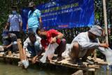 Jepara tebar 50.000 benih kepiting di kawasan mangrove