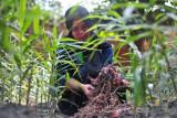 Petani Kelompok Wanita Tani (KWT) Bukit Siguntang Lestari memanen jahe merah di desa penyangga Taman Nasional Bukit Tigapuluh (TNBT), Muara Sekalo, Sumay, Tebo, Jambi, Minggu (19/9/2021). Belasan petani wanita di desa penyangga berjarak sekitar 18 kilometer dari TNBT tersebut memanfaatkan pekarangan dan lahan kosong sekitar rumah seluas seperempat hektare untuk membudi dayakan jahe merah yang kemudian diolah dan dijual dalam bentuk kemasan bubuk guna menambah pendapatan. ANTARA FOTO/Wahdi Septiawan/wsj.