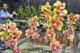 Pembudi daya bunga anggrek melakukan penjualan secara daring di Galeri Angrek Ciamis, Kabupaten Ciamis, Jawa Barat, Selasa (21/9/2021). Sejumlah petani milenial membudi dayakan bunga anggrek impor dari Taiwan dengan anggrek lokal menggunakan sistem kultur jaringan untuk menghasilkan varietas baru yang menghasilkan variasi warna bunga, dan di masa Pandemi COVID-19 penjualan anggrek bisa mencapai 1000 bunga angrek per bulan dengan harga Rp70 ribu hingga Rp150 ribu. ANTARA FOTO/Adeng Bustomi/agr