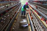 Pekerja memanen telur di sebuah peternakan ayam petelur di Wonokoyo, Malang, Jawa Timur, Selasa (21/9/2021). Akibat turunnya  harga telur ayam  yang berada di kisaran Rp 14.500 per kilogram dalam tiga bulan terakhir membuat peternak ayam petelur setempat terpaksa melakukan pemangkasan stok atau afkir  untuk mengurangi kerugian dan mengurangi pembengkakan biaya pakan. Antara Jatim/Ari Bowo Sucipto/zk