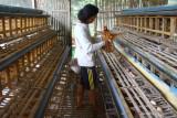 Peternak ayam petelur di Malang Jatim terpaksa lakukan afkir dini