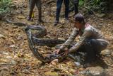Ular Piton hampir 10 meter diserahkan warga Pelalawan untuk dilepasliarkan BBKSDA Riau
