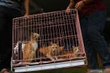 Warga membawa kucing piaraan (Felis catus) miliknya seusai divaksin saat bakti sosial vaksinasi rabies untuk kucing dan anjing di Dinas Ketahanan Pangan dan Pertanian Kota Madiun, Jawa Timur, Rabu (22/9/2021). Vaksinasi rabies yang dilakukan pada 250 ekor kucing dan 50 ekor anjing piaraan milik warga tersebut dimaksudkan untuk melindungi hewan piaraan dari rabies sekaligus memperingati Hari Rabies Sedunia. Antara Jatim/Siswowidodo/zk