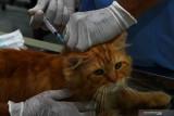 Dokter hewan menyuntikkan vaksin rabies pada kucing piaraan (Felis catus) saat bakti sosial vaksinasi rabies untuk kucing dan anjing di Dinas Ketahanan Pangan dan Pertanian Kota Madiun, Jawa Timur, Rabu (22/9/2021). Vaksinasi rabies yang dilakukan pada 250 ekor kucing dan 50 ekor anjing piaraan milik warga tersebut dimaksudkan untuk melindungi hewan piaraan dari rabies sekaligus memperingati Hari Rabies Sedunia. Antara Jatim/Siswowidodo/zk
