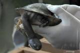 Kura-kura rote akan dilepas di Danau Peto NTT