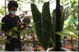 Petani merawat tanaman hias di Banyuwangi, Jawa Timur, Senin (20/9/2021). Tanaman hias jenis Monstera dan Philodendron yang dikembangkan oleh komunitas bunga di Banyuwangi itu mampu menembus pasar ekspor ke Singapura. ANTARA FOTO/Budi Candra Setya/rwa.