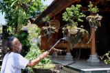 Kreator bonsai Kadek Sudimayasa melakukan perawatan bonsai berkonsep melayang buatannya di kawasan Mengwi, Badung, Bali, Rabu (22/9/2021). Bonsai melayang yang viral dan dijuluki