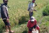 Bantu petani, alumni Polbangtan YoMa gerak cepat atasi hama