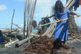 Rumput laut Nunukan tembus Rp18.000/Kg