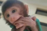 Karantina Pertanian Lampung gagalkan penyelundupan belasan ekor monyet