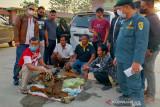 BB KSDA Riau amankan empat penjual kulit Harimau dari Sumbar, satu perempuan