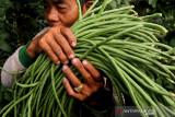 Petani memanen kacang panjang di area persawahan Kelurahan Tosaren, Kota Kediri, Jawa Timur, Jumat (24/9/2021). Petani di daerah tersebut memilih menanam kacang panjang daripada tanaman palawija lainnya karena bisa dipanen mulai usia dua bulan dan memiliki siklus panen hingga 18 kali dalam sekali tanam serta harga jual stabil pada kisaran Rp4.000 hingga Rp5.000 per kilogram. Antara Jatim/Prasetia Fauzani/zk