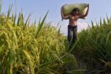 Petani memanggul karung yang berisi padi usai panen di Dusun Saiberas Sekata, Sunggal, Deli Serdang, Sumatera Utara, Kamis (23/9/2021). Berdasarkan data dari Kementerian Pertanian, realisasi Kredit Usaha Rakyat (KUR) pertanian per 20 September 2021 sebesar Rp56,3 triliun atau setara 80,48 persen dari target realisasi KUR tahun ini sebesar Rp70 triliun. ANTARA FOTO/Fransisco Carolio/Lmo/foc.