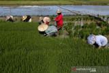 Aceh lakukan tanam padi tiga kali setahun di daerah potensial