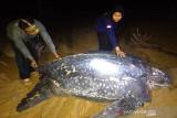 Penyu terbesar di dunia muncul di Kalbar