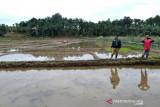 Dinas Pertanian Mukomuko siapkan stok pestisida untuk tanggulangi hama