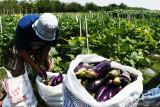 Petani memanen terong ungu di Mojorejo, Kebonsari, Kabupaten Madiun, Jawa Timur, Minggu (26/9/2021). Menurut petani, harga terong ungu yang biasa digunakan sambal terong tersebut Rp1.500 hingga Rp2.000 per kilogram tergantung kualitas di tingkat petani. Antara Jatim/Siswowidodo/zk