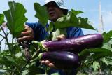 Petani memanen terong ungu di Mojorejo, Kebonsari, Kabupaten Madiun, Jawa Timur, Minggu (26/9/2021). Menurut petani, harga terong ungu yang biasa digunakan sambal terong tersebut Rp1.500 hingga Rp2.000 per kilogram tergantung kualitas di tingkat petani. Antara Jatim/Siswowidodo
