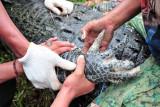 Petugas Balai Konservasi Sumber Daya Alam (BKSDA) Jambi, bersama aparat kepolisian, TNI dan warga mengevakuasi seekor buaya muara (Crocodylus porosus) dari Penangkaran Buaya Kebon Sembilan, Muarojambi, Jambi, Sabtu (25/9/2021). BKSDA Jambi akan mengevakuasi seluruh buaya yang diperkirakan berjumlah antara 25-30 ekor dari penangkaran buaya milik swasta yang telah terbengkalai itu secara bertahap ke tempat penangkaran sementara di Kabupaten Batanghari. ANTARA FOTO/Wahdi Septiawan/aww.