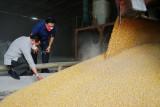 Menteri Pertanian pastikan pasokan jagung ke perusahaan pakan berjalan normal